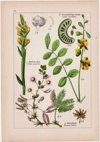 Szenna, mimóza és seprűzanót, csillagfürt, iglice, litográfia 1895, 17 x 25 cm, növény, virág