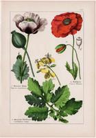 Pipacs, mák, fecskefű és kapribogyó, keltike, orvosi füstike, litográfia 1895, 17 x 25 cm, virág