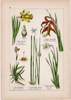 Nárcisz, jákob liliom, szittyó és sáfrány, nőszirom, kardvirág, litográfia 1895, 17 x 25 cm, növény