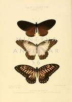 Lepkék, pillangók 3. Vintage/antik zoológiai illusztráció. Kitűnő minőségű reprint nyomat