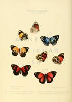 Lepkék, pillangók 7. Vintage/antik zoológiai illusztráció. Kitűnő minőségű reprint nyomat
