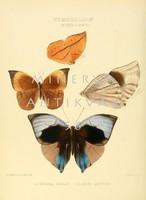 Lepkék, pillangók 13. Vintage/antik zoológiai illusztráció. Kitűnő minőségű reprint nyomat