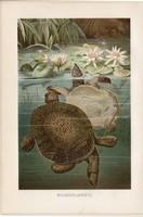 Lágyhéjú teknős, litográfia 1894, színes nyomat, eredeti, német, Brehm, állat, hüllő, Kína, Ázsia