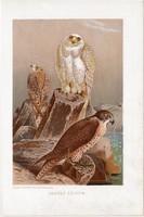 Vadász sólyom, litográfia 1907, színes nyomat, eredeti, magyar, Brehm, állat, madár, északi, Európa