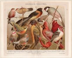 Szobamadarak, litográfia 1888, színes nyomat, eredeti, német, házimadár, madár, régi, zebrapinty