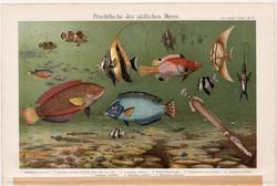 Halak IV., színes nyomat 1896, német nyelvű, litográfia, eredeti, hal, tenger, zászlóshal, régi