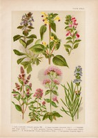 Magyar növények 37, litográfia 1903, színes nyomat, virág, levendula, menta, kakukfű, majorána (3)
