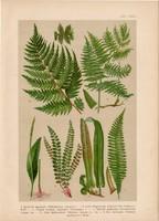 Magyar növények 64, litográfia 1903, színes nyomat, virág, bodorka, kigyónyelv, hölgyharaszt (3)