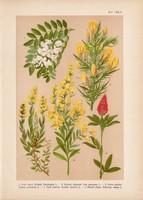 Magyar növények 45, litográfia 1903, színes nyomat, virág, ákácz, reketty, lóhere, sül - zanót (3)