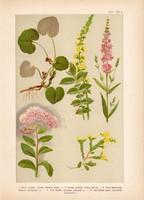 Magyar növények 29, litográfia 1903, színes nyomat, virág, varjúháj, füzény, kapotnyak, párló (3)