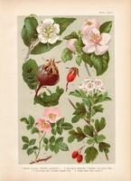 Magyar növények 32, litográfia 1903, színes nyomat, virág naspolya, galagonya, birs, csipkerózsa (3)