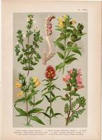 Magyar növények 40, litográfia 1903, színes nyomat, virág, vicsorgó, kakastaréj, csormolya (3)
