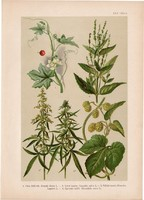 Magyar növények 62, litográfia 1903, színes nyomat, virág kender, komló, szélfű, piros földitök, (3)
