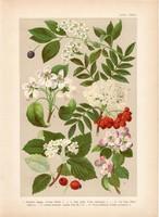Magyar növények 31, litográfia 1903, színes nyomat, virág, meggy, körte, alma, berkenye, vad (3)