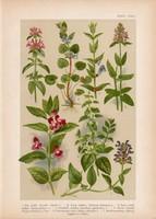 Magyar növények 39, litográfia 1903, színes nyomat, virág, repkény, mézfű, tisztesfű, csukóka (3)