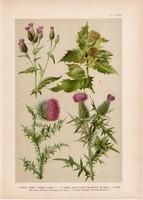 Magyar növények 51, litográfia 1903, színes nyomat, virág, bogács, lándzsás aszat, fűrészfű (3)