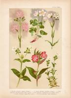 Magyar növények 28, litográfia 1903, színes nyomat, virág, mécsvirág, madársóska, csillaghúr (3)