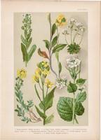 Magyar növények 42, litográfia 1903, színes nyomat, virág, zsombor, daravirág, káposzta, mustár (3)