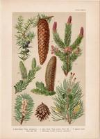 Magyar növények 58, litográfia 1903, színes nyomat, virág, boróka, erdei fenyő, lúcz, jegenye (3)