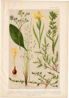 Magyar növények 67, litográfia 1903, színes nyomat, virág, lelleg, szikőr, nőszirom, csenkesz (3)