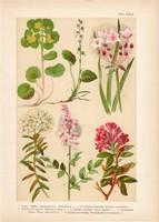 Magyar növények 26, litográfia 1903, színes nyomat, virág veselke, ezerjófű, havasszépe, körtike (3)