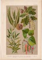 Magyar növények 61, litográfia 1903, színes nyomat, virág, gesztenye, tölgy, fűz, nyár, fa (3)