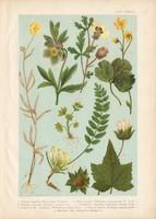 Magyar növények 65, litográfia 1903, színes nyomat, virág, boglárka, hunyor, varjúmák, kőrontó (3)