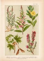 Magyar növények 24, litográfia 1903, színes nyomat, virág, ligetszépe, juhar, fűzike, csarap (3)