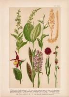 Magyar növények 56, litográfia 1903, színes nyomat, virág, kosbor, bíborka, békakonty, rigópohár (3)