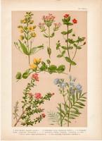 Magyar növények 11, litográfia 1903, színes nyomat, virág, lizinka, azélea, tikszem, cstavirág (3)