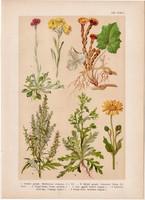 Magyar növények 53, litográfia 1903, színes nyomat, virág, gyopár, árnika, üröm, martilapu (3)
