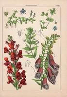 Görvélyfűfélék és útifű, szulák, csatavirág, litográfia 1885, 21 x 30 cm, eredeti, növény, virág