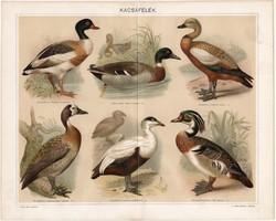 Kacsafélék, 1894, litográfia, színes nyomat, eredeti, magyar nyelvű, kacsa, lúd, vadászat, madár
