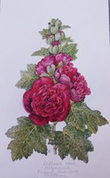 Varga Emma: Mályvarózsa akvarell