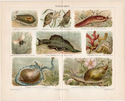 Csigák, színes nyomat 1906, német nyelvű, eredeti, litográfia, csiga, meztelen, kúp, állat, régi