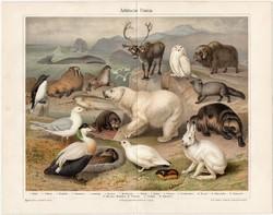 Északi - sarki állatvilág, színes nyomat 1905, német, litográfia, állat, jegesmedve, hóbagoly, régi