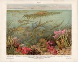 Algák, színes nyomat 1903, német, litográfia, eredeti, alga, moszat, tenger, óceán, latin, növény