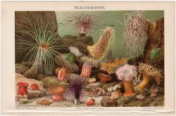 Tengeri anemonák, színes nyomat 1907, tenger, tengerirózsa, virágállat, anemona, német nyelvű, óceán