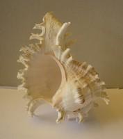 Gyönyörű tengeri kagyló