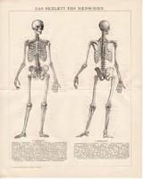 Csontváz, litográfia 1893, német, színes nyomat, anatómia, gyógyászat, ember, csont, koponya, régi