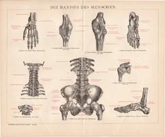 Ínszalagok, litográfia 1893, német, színes nyomat, anatómia, gyógyászat, ember, ín, szalag, régi