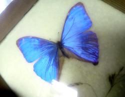 Régi ritka pillangó preparátum 9cm Morpho aega