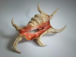 Hatalmas Lambris Crocata tengeri csiga 28cm ritka