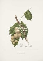 Vintage antik botanikai illusztráció - Duku, Lansium domesticum. Kitűnő minőségű reprint nyomat
