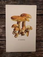 Sárga gyűrűstinóru és Aranytinóru lithográfia, nyomat, GOMBA