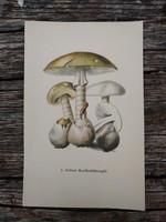 Gyilkos galóca Amanita phalloides és Piruló galóca Amanita rubescens lithográfai, nyomat