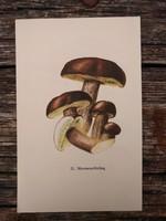 Barna tinóru, Szemcsésnyelű fenyőtinóru és Tehéntinóru lithográfia, nyomat, GOMBA
