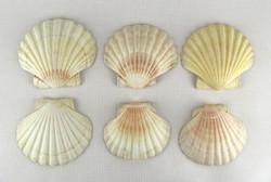 0Z348 Shell kagyló kaviár tálaló készlet 6 darab