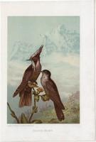Sisakos kolibri, litográfia 1907, színes nyomat, eredeti, magyar, Brehm, állat, madár, oxypogon