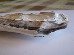 Opálosodott Fa Fosszília Gyönyőrű Évgyűrűkkel - 14cm / 28,2dkg